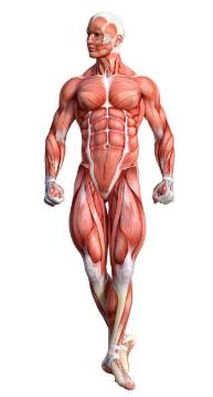 μυς του ανθρώπινου σώματος