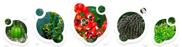 Συστατικά Garcinia Cambogia, Ascophyllum knotty, σπόροι Guarana, εκχύλισμα μούρων Acai και πράσινο τσάι